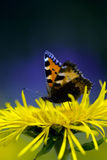красный цвет бабочки admiral стоковое изображение rf
