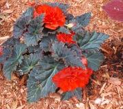 Красный цвет бегонии стоковые фотографии rf