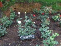 Красный цвет & белая роза Tampico на индийском розарии ooty, Индии Стоковое фото RF