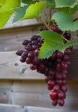 красный цвет близкой хлебоуборки виноградин готовый вверх стоковая фотография rf
