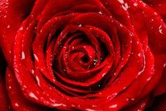 красный цвет бутона свежий поднял Стоковое Изображение