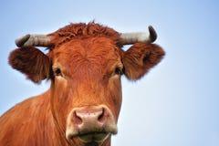 красный цвет быка Стоковая Фотография