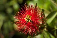 Красный цвет валика Pin Protea Стоковые Фотографии RF