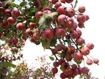 красный цвет ветви яблок Стоковые Изображения