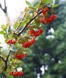 красный цвет ветви ягод вися Стоковая Фотография RF