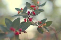 красный цвет ветви ягод Стоковое Изображение RF
