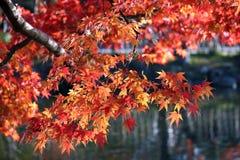 красный цвет ветви Стоковые Изображения