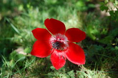 красный цвет ветреницы Стоковое Фото