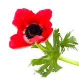 красный цвет ветреницы Стоковые Фотографии RF