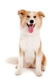 красный цвет взгляда собаки камеры стоковая фотография rf