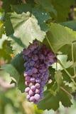 красный цвет виноградины Стоковое Фото