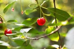 красный цвет вишен зрелый Стоковые Изображения