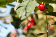 красный цвет вишен зрелый Стоковые Изображения RF