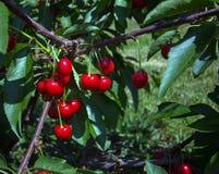 красный цвет вишен Стоковые Фото