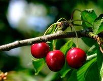 красный цвет вишен Стоковая Фотография RF
