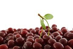 красный цвет вишни зрелый Стоковые Фотографии RF