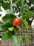 красный цвет вишни зрелый Стоковые Изображения RF