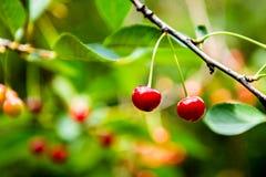 красный цвет вишни зрелый стоковые фото