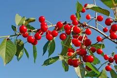 красный цвет вишни Стоковые Изображения RF