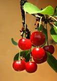 красный цвет вишни Стоковые Изображения