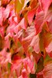 Красный цвет выходит деталь Стоковая Фотография