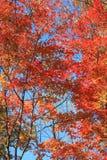 Красный цвет выходит на деревья в осень к северо-востоку от Китая стоковые изображения rf