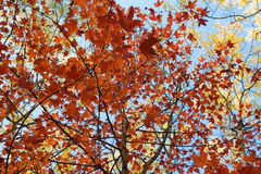 Красный цвет выходит, золотые листья - лес падения, осень Стоковая Фотография