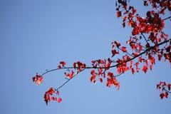 Красный цвет выходит красный клен Стоковое фото RF