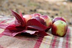 Красный цвет выходит на предпосылку яблок на коричневом крупном плане шотландки Стоковые Изображения RF