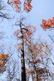 Красный цвет выходит портрет дерева Стоковые Изображения