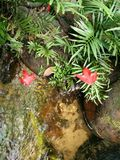 Красный цвет выходит Mapel в парк нации Таиланда Стоковая Фотография RF