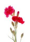 красный цвет гвоздики Стоковые Фото