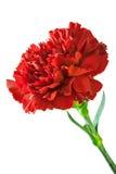 красный цвет гвоздики Стоковое Изображение RF
