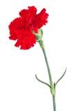 красный цвет гвоздики Стоковая Фотография RF