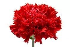 красный цвет гвоздики Стоковое Фото