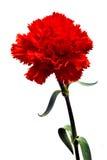 красный цвет гвоздики Стоковое Изображение
