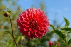 красный цвет георгина изолированный цветком Стоковое Изображение RF