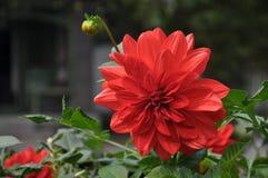 красный цвет георгина изолированный цветком Стоковая Фотография RF