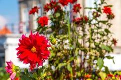 красный цвет георгина изолированный цветком Стоковая Фотография