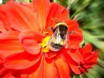 красный цвет георгина изолированный цветком Стоковые Фотографии RF