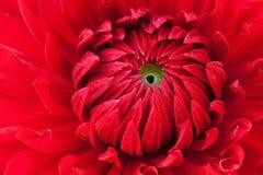 красный цвет георгина Стоковые Фото