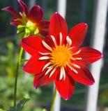 красный цвет георгина Стоковая Фотография