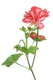 красный цвет гераниума Стоковое Изображение