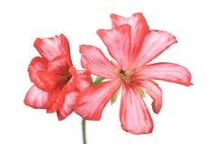 красный цвет гераниума Стоковые Фотографии RF