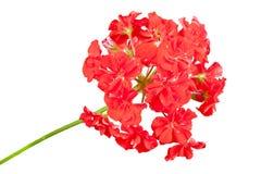 красный цвет гераниума Стоковые Фото