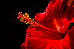 Красный цвет гибискуса стоковые фото