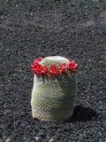 красный цвет гирлянды цветков кактуса экзотический Стоковое Изображение
