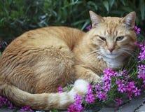 красный цвет глаза кота зараженный Стоковые Изображения RF