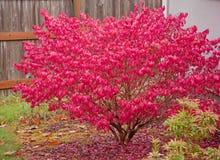 красный цвет горящего bush Стоковая Фотография