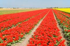 красный цвет гребет желтый цвет тюльпанов Стоковая Фотография RF